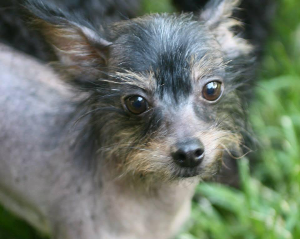 Mae Mae Tender Loving Crested Rescue