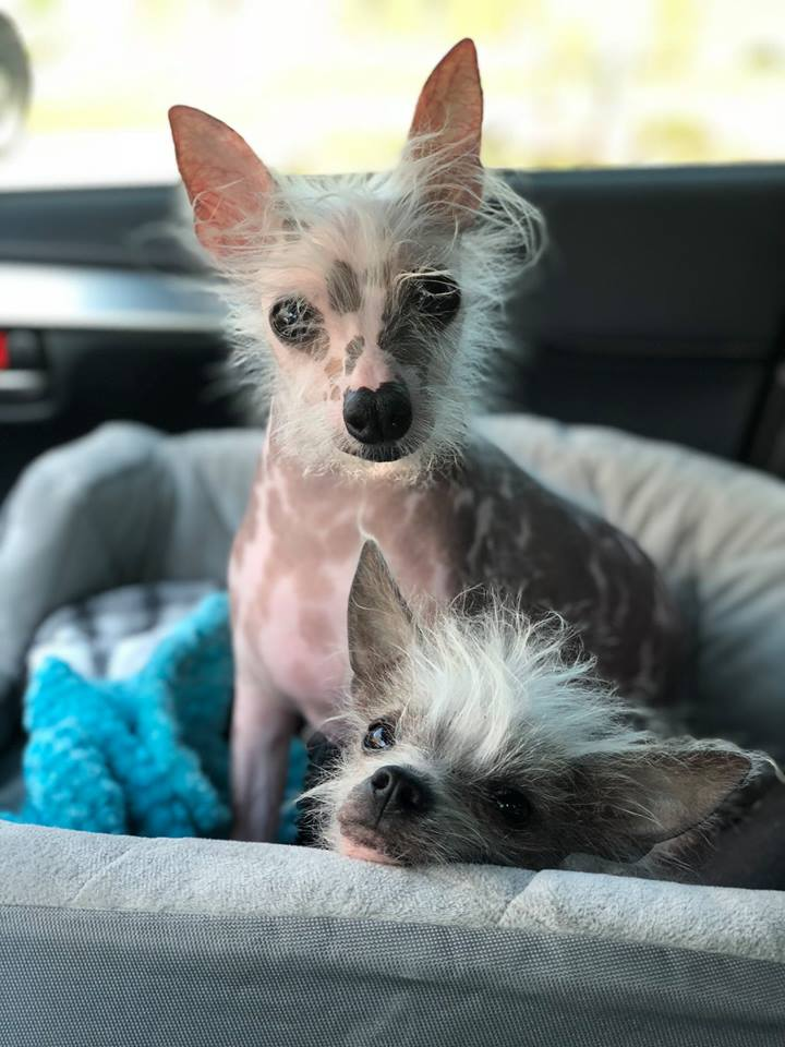 Puppies Tender Loving Crested Rescue